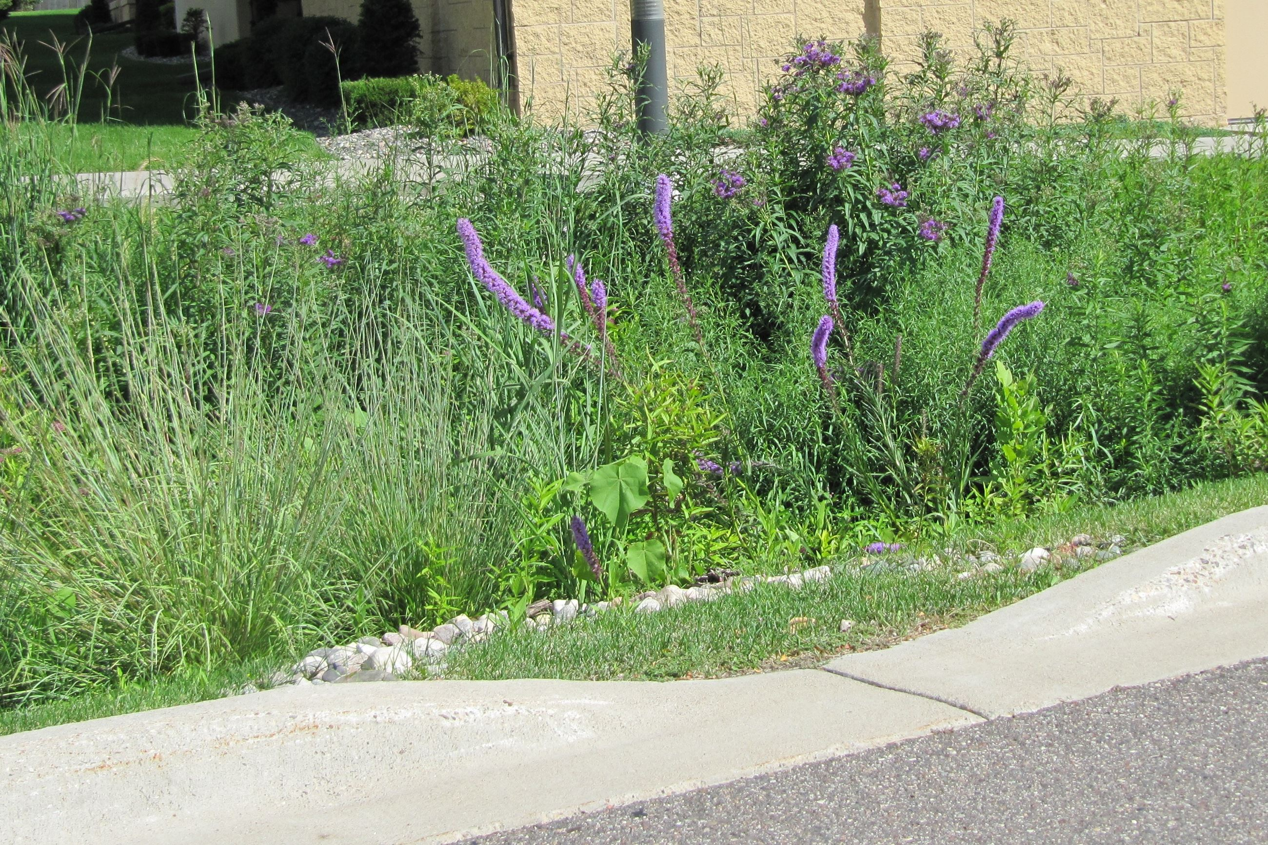 Raingarden with liatris