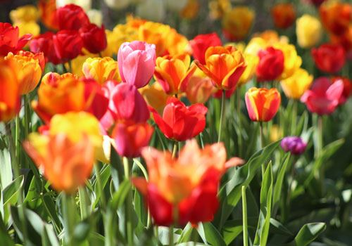 Red, yellow, orange and pink tulips
